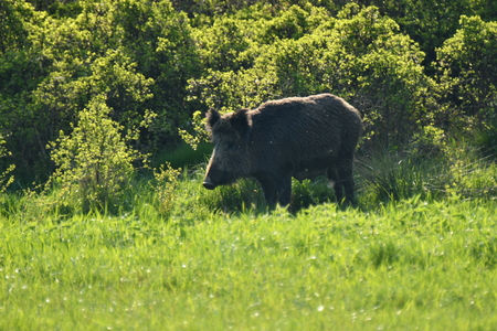 Wildlife wild boar and deer together grazing on the medow