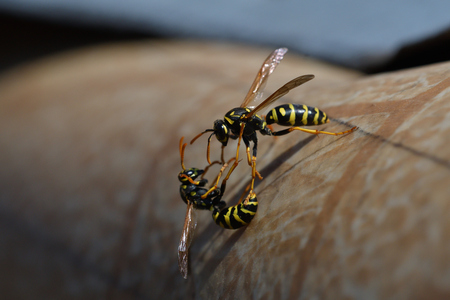 2 wasp are fighting for their territory in spring 免版税图像