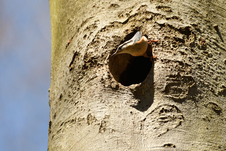 Nuthatch bird housing in a tree in forest