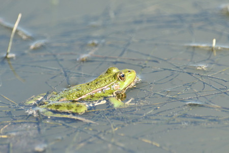 the frog makes sounds on the water surface during mating