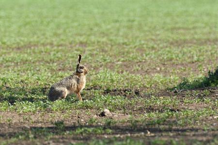 Wild brown hare runs along a farm meadow in the spring