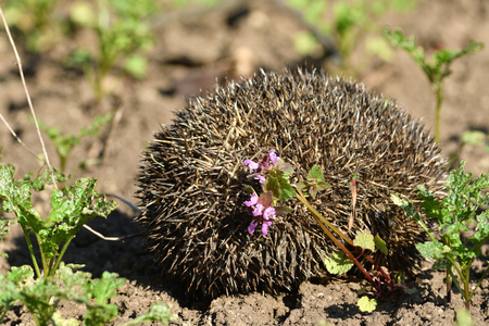 hedgehog curled up into a ball of sharp prick is defending itself from the enemy
