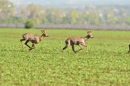 erd of roe deer running through a farm field in spring Stock fotó