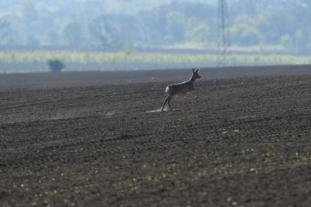 erd of roe deer running through a farm field in spring