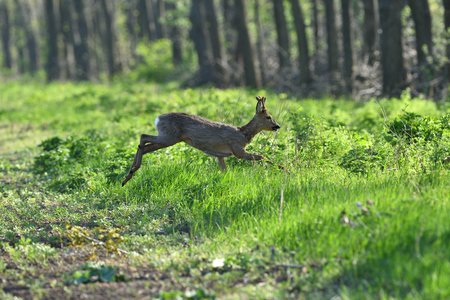 roe deer and fawn jumping into the forest to hide