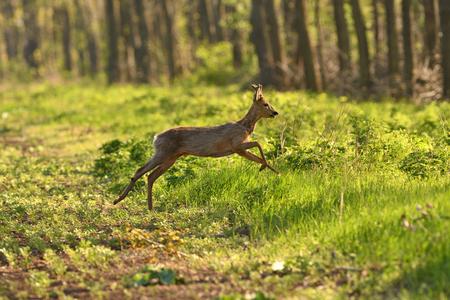 chevreuil et faon sautant dans la forêt pour se cacher