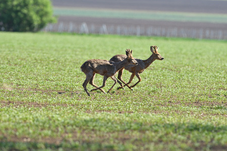 herd of roe deer running through a farm field in spring 스톡 콘텐츠