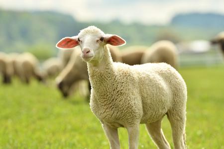 Baranek domowy na pastwisku na zielonej trawie
