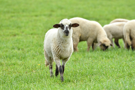 domestic sheep walks on a meadow and eats grass