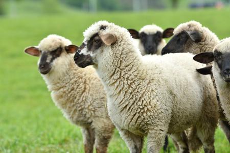 Portrait de moutons domestiques paissant sur l'herbe verte