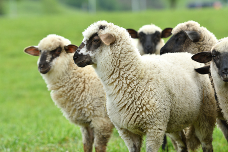 portrait of domestic sheep grazing on green grass