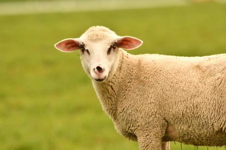 Retrato de ovejas domésticas que pastan en la hierba verde
