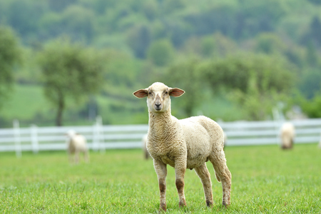 portrait of domestic sheep grazing on green grass Stock fotó