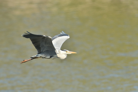 heron flying over pond detail with wings and beak