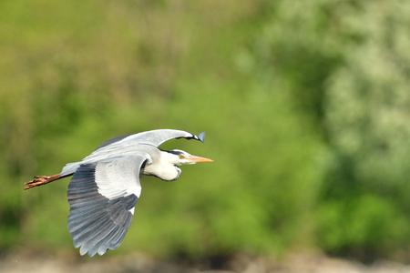 egret flies over see and trees detail wings and beak