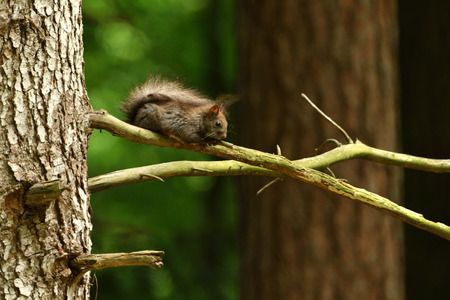 The squirrel sits on a tree branch and cleans its fur