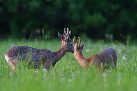 Young roe deer with growing antler grazing grass on the meadow Imagens