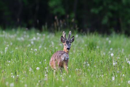 Junges Rehwild mit wachsendem Geweih, das Gras auf der Wiese weidet