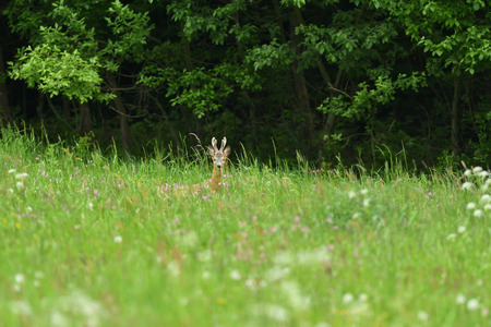 Small roe buck with antler  to hide in camouflage on grass and forest