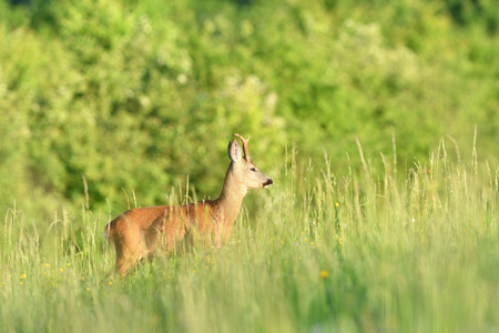 Roe buck jumping in the grass on meadow nera forest Imagens