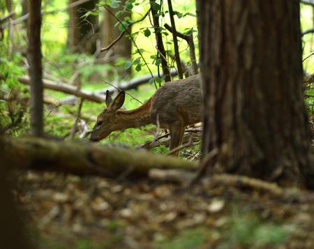 Roe grazing grass hidden in the forest Imagens