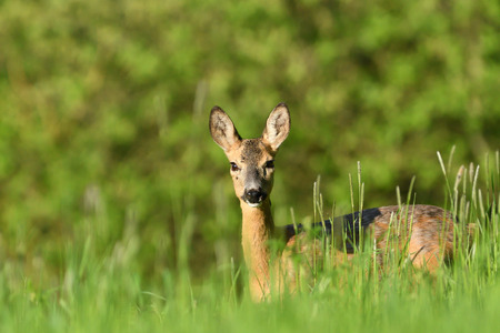 portrait of a Roe deer head in the grass on a green meadow Imagens