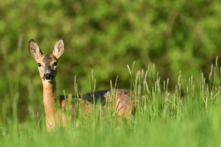 portrait of a Roe deer head in the grass on a green meadow Banco de Imagens