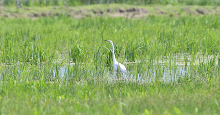 heron hunts for fish in a meadow with marshes