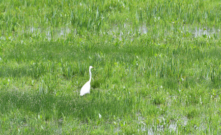 heron lurking for fish in a meadow in marsh