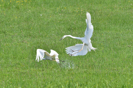 herons fight for their territory in a meadow with swamps