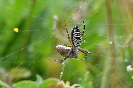 wasp Spider on hunting bug insects on his web macro photo