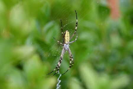 cross wasp spider waits on its web for its prey