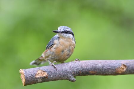 Eurasian  nuthatch sitting on a branch in the forest 版權商用圖片