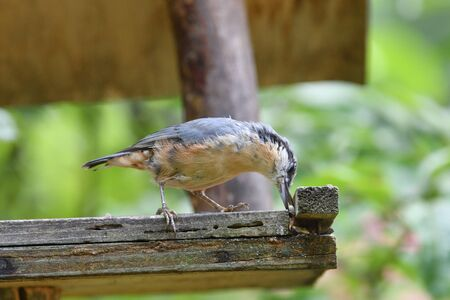 Eurasian nuthatch eats sunflowers from the wooden Fodder rack