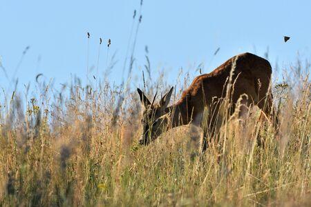 Roe buck walking hidden in the high grass close up