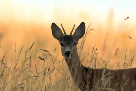 Portrait of roe deer´s head on the meadow