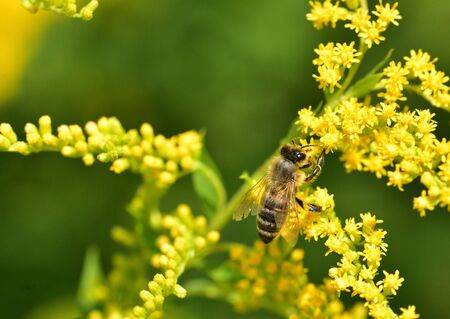 honey bee flies on blooming flowers and collecting pollen