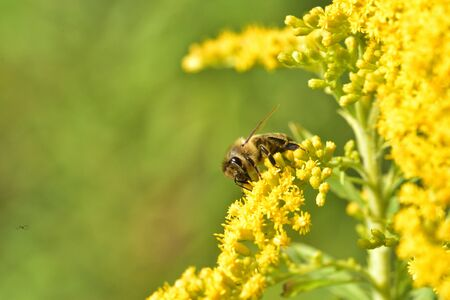 Macrophotography of bee polinating yellow flower in blossom