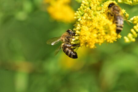 Swarm of bees pollinates yellow flowers on an agricultural field