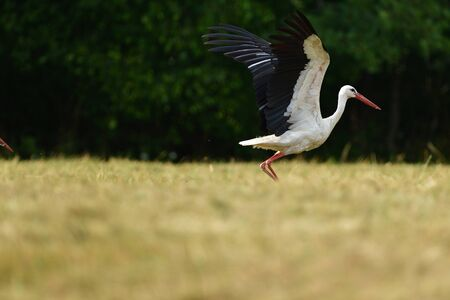 White stork migrates to warm countries for winter