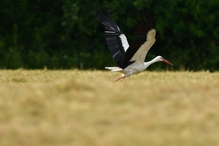 White stork taking off in the sky from a field Stock Photo