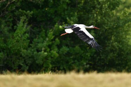 White stork flies over the woods and meadows Stock Photo