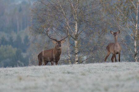 Deer stag defending his herd of female in pairing season