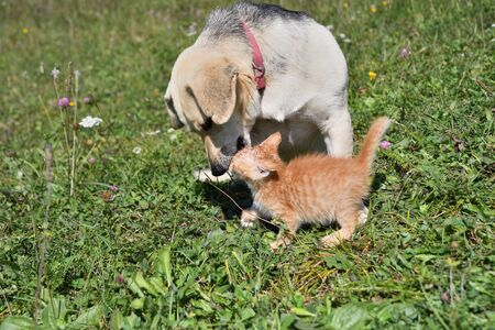 An adult dog has adopted a small orphaned cat 写真素材