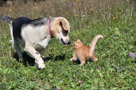 An adult dog play together with small kitty on the meadow 写真素材