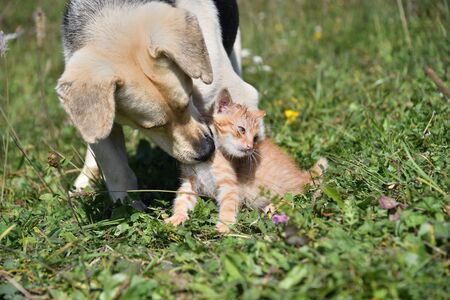 Dog cleans the hair of a small cat like a mother 写真素材