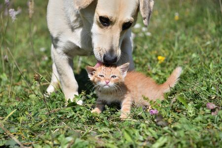 Dog cleans the hair of a small cat like a mother Imagens