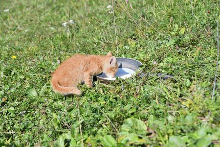 Little cat drinks milk from a bowl