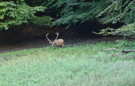 Deer lies in the mud at the edge of the forest during rut