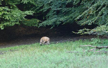 Deer comes out of the forest on a mud in time rut